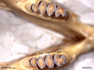 Dipodomys californicus, lower jaw