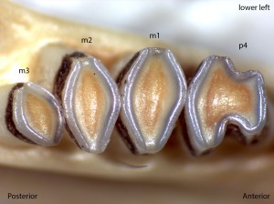 Dipodomys californicus, lower left jaw