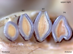 Dipodomys californicus, upper right palate