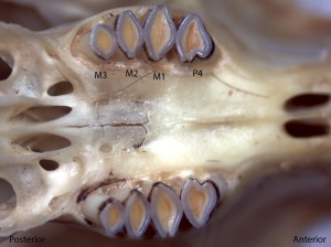 Dipodomys californicus, upper palate