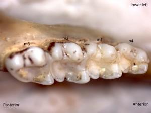 Glaucomys sabrinus, lower left jaw