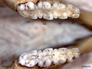 Glaucomys sabrinus, lower jaw