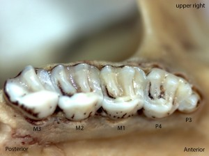 Glaucomys sabrinus, upper right palate