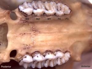Glaucomys sabrinus, upper palate