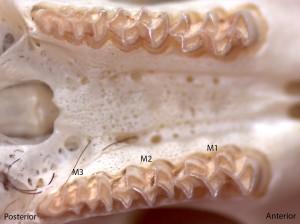 Microtus longicaudus, upper palate