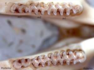 Microtus montanus, lower jaw