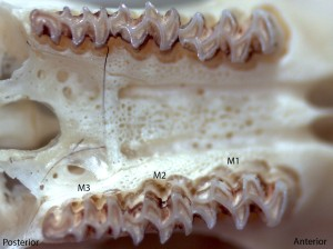 Microtus montanus, upper palate