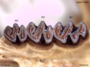 Neotoma cinerea, upper right palate