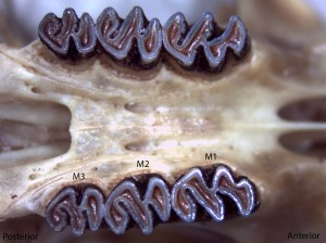 Neotoma cinerea, upper palate