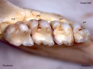 Osteospermophilus beecheyi, lower left jaw