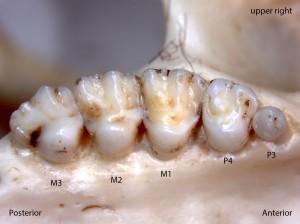Osteospermophilus beecheyi, upper right palate