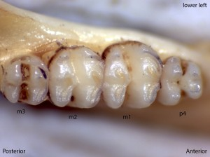 Perognathus parvus, lower left jaw