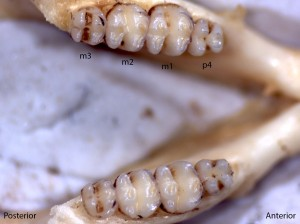 Perognathus parvus, lower jaw