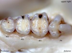 Perognathus parvus, upper right palate