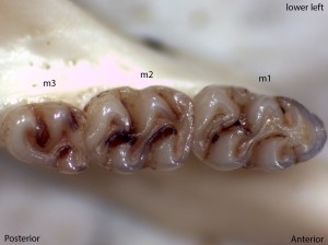 Peromyscus boylii, lower left jaw