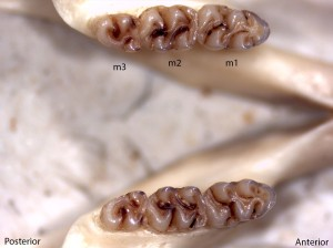 Peromyscus boylii, lower jaw