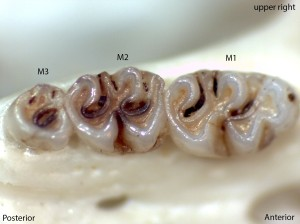 Peromyscus boylii, upper right palate