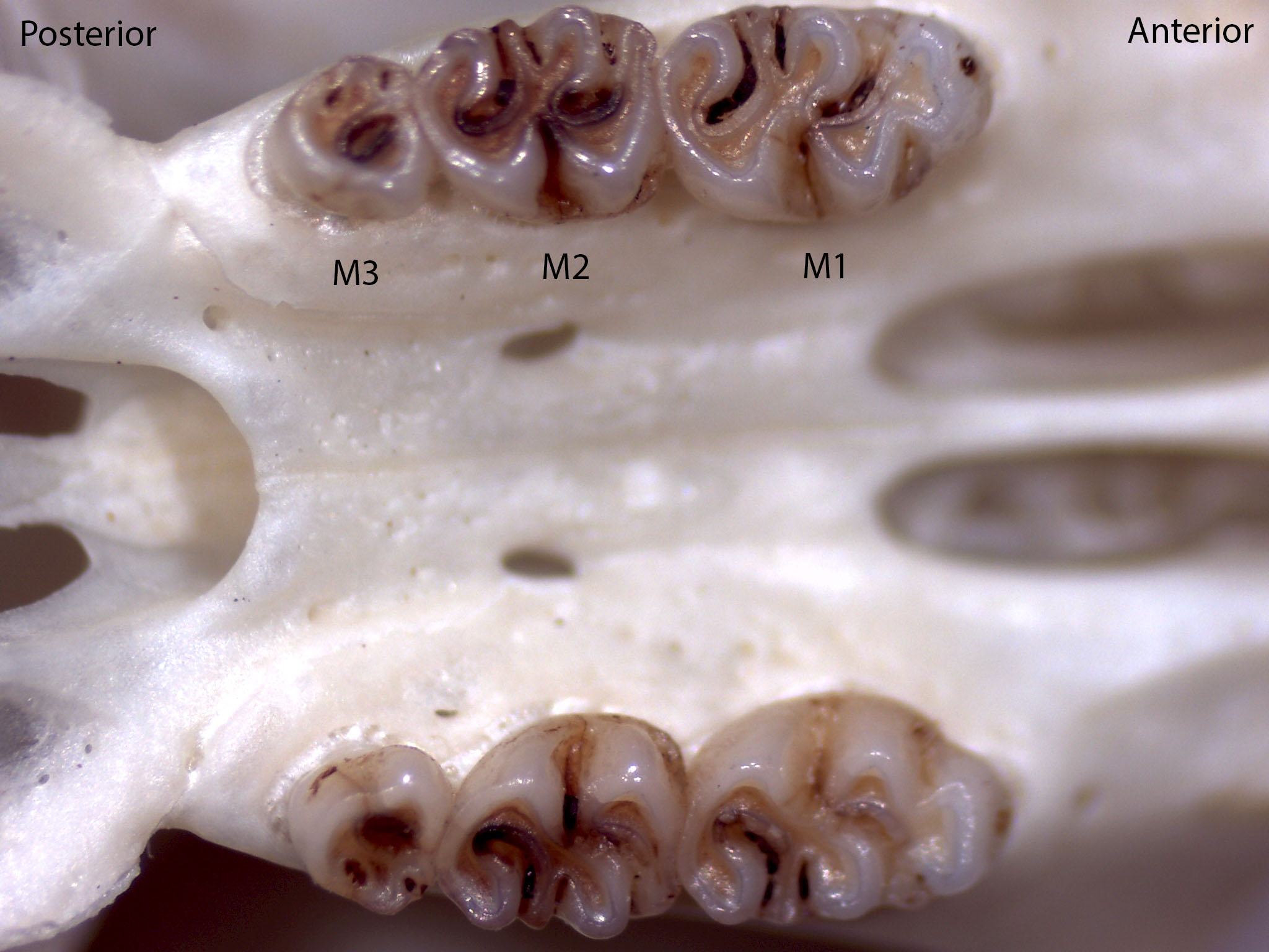 Peromyscus boylii, upper palate