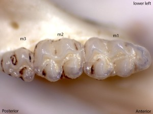 Peromyscus maniculatus, lower left jaw