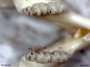 Peromyscus maniculatus, lower jaw