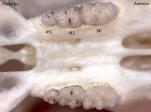 Peromyscus maniculatus, upper palate