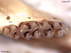 Peromyscus truei, lower left jaw
