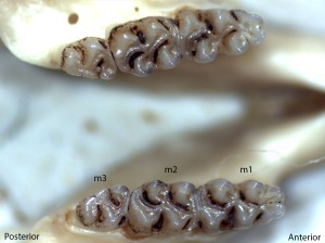 Peromyscus truei, lower jaw