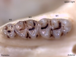 Peromyscus truei, upper right palate