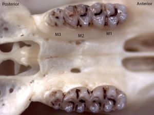 Peromyscus truei, upper palate