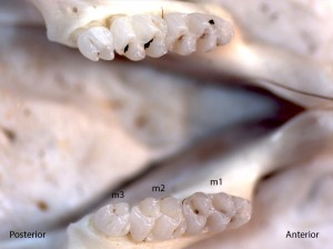 Reithrodontomys megalotis, lower jaw