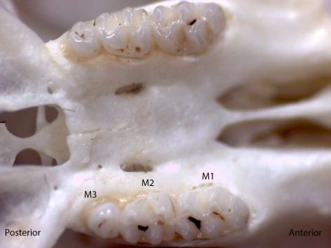 Reithrodontomys megalotis, upper palate