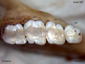 Sciurus griseus, lower left jaw