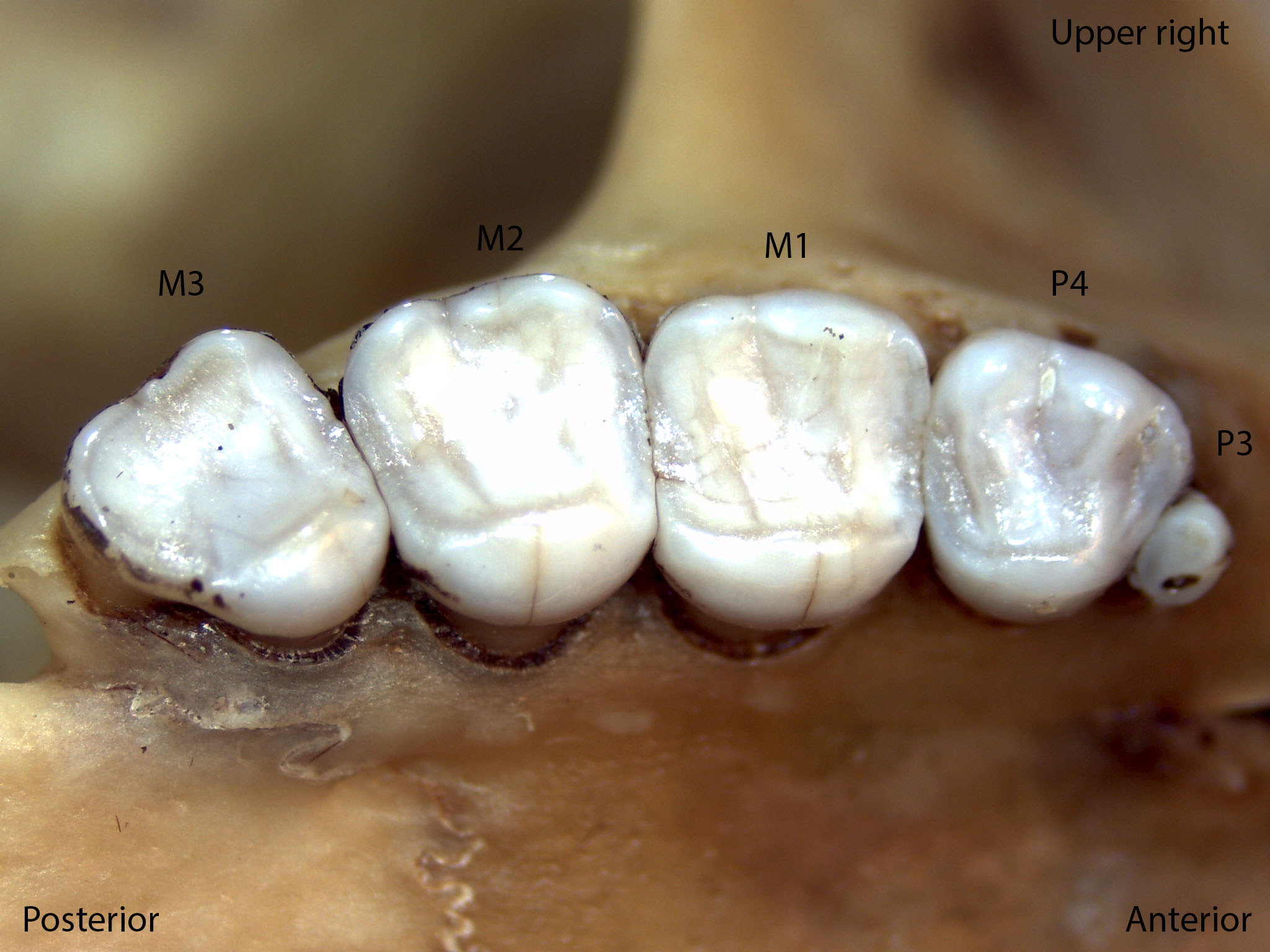 Sciurus griseus, upper right palate