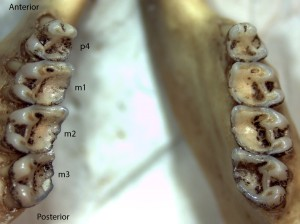 Spermophilus lateralis, lower jaw