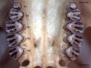 Spermophilus lateralis, upper palate