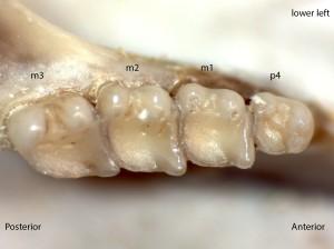 Tamias amoenus, lower left jaw