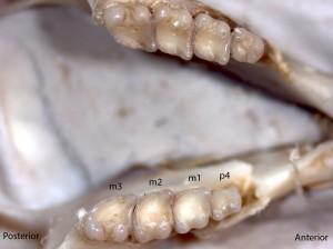 Tamias amoenus, lower jaw