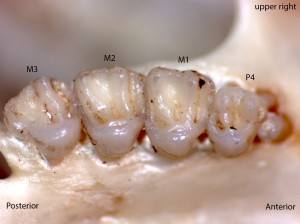 Tamias amoenus, upper right palate