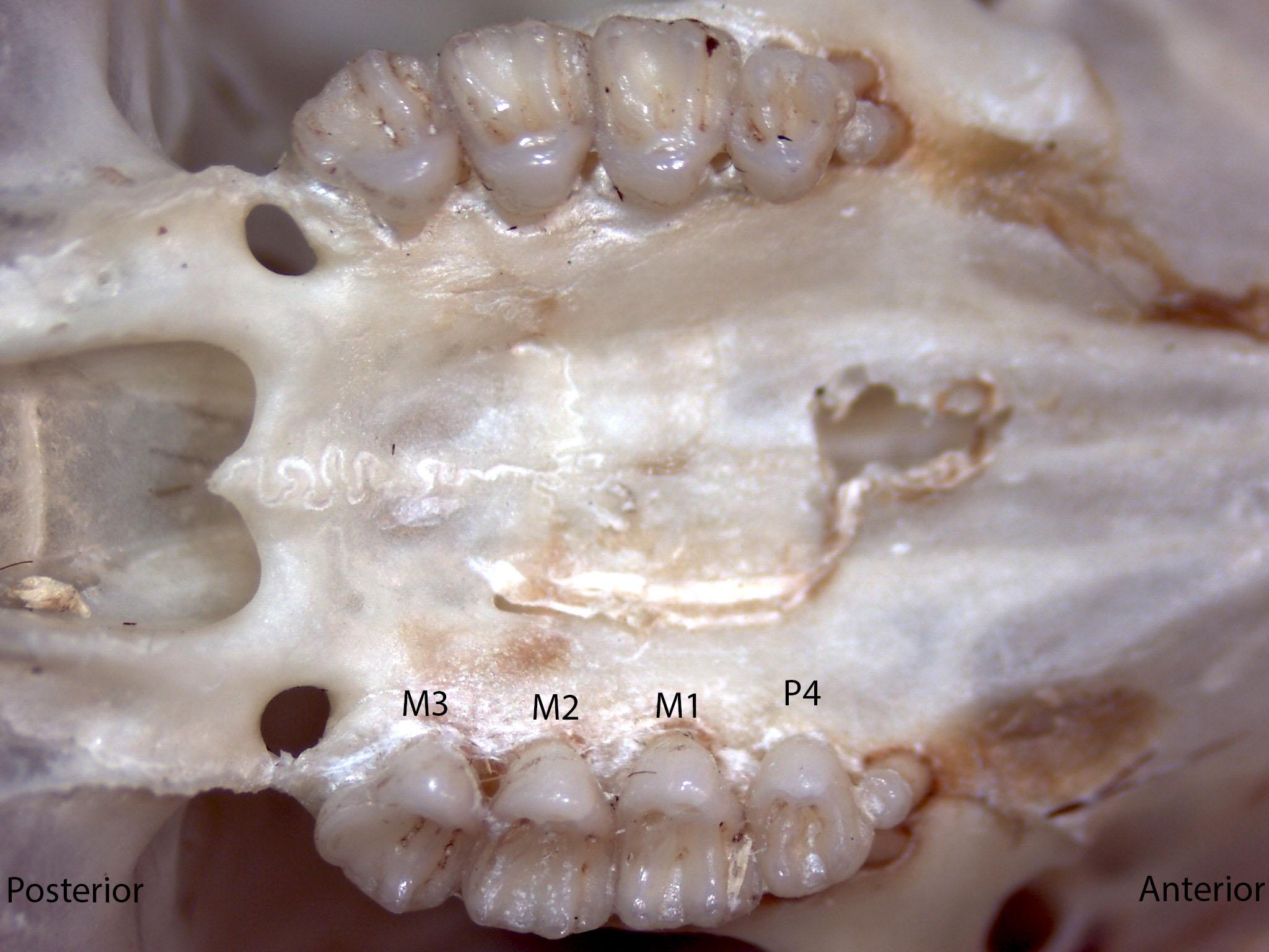 Tamias amoenus, upper palate