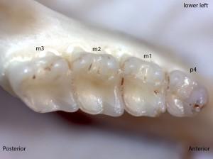 Tamias senex, lower left jaw