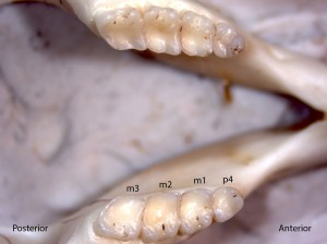Tamias senex, lower jaw