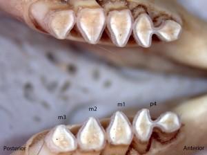 Thomomoys bottae, lower jaw