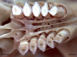 Thomomoys bottae, upper palate