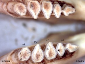 Thomomoys monticola, lower jaw