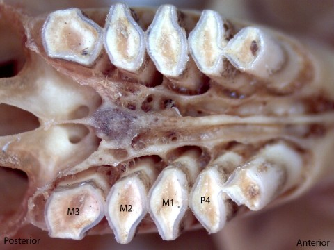 Thomomoys monticola, upper palate